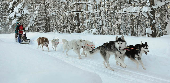 Ездовые собаки в зимнем лагере «Большое Приключение»
