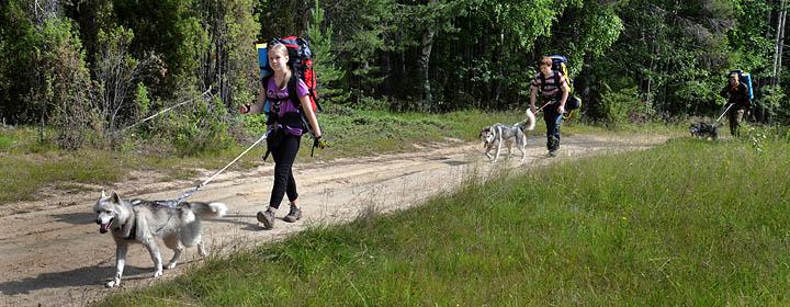 Прогулки с хаски по лесу – самое любимое занятие всех ребят